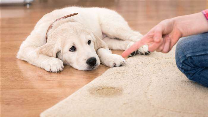 showing sad dog who peed on carpet